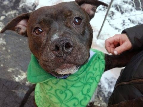 SAFE - 02/05/15 --- Manhattan Center   BARKLEY - A1026324 *** BEGINNER HOME ***  FEMALE, BLACK / WHITE, AMERICAN STAFF MIX, 2 yrs STRAY - STRAY WAIT, NO HOLD Reason STRAY  Intake condition EXAM REQ Intake Date 01/25/2015 https://www.facebook.com/photo.php?fbid=953630657983147