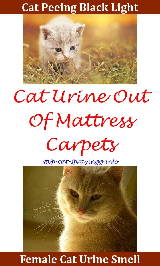 Spray To Stop Cats From Peeing On Floor Clean Cat Pee From Couch Cat Pee  Spray How To Get Cat Spray Smell How To Get Rid Cat Pee Out Of Carpet Vineu2026