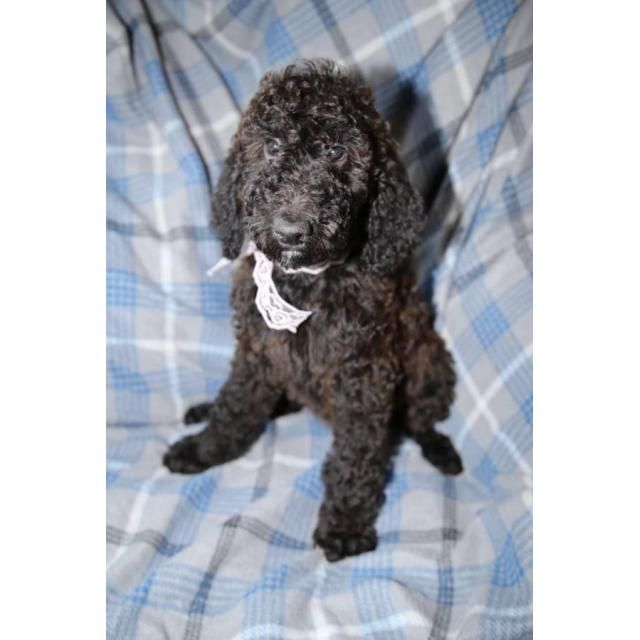 Poodle Seattle I Have Beautiful Standard Poodle Puppies That Need
