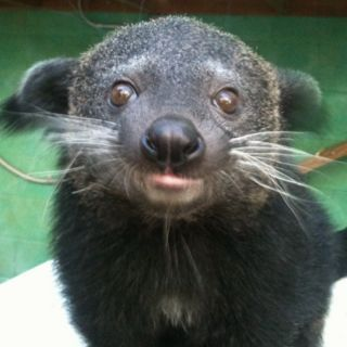 Baby binturong Squishies Pinterest Animal Wild life and