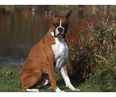 Looking for boxer puppies in Mumbai, Maharashtra, India in