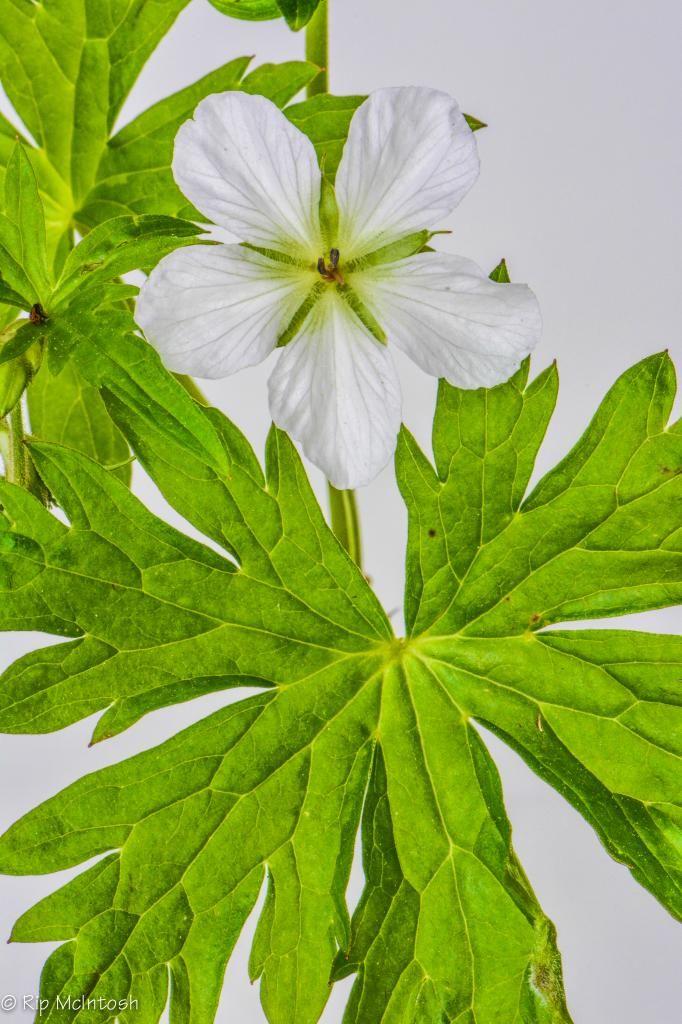 Single petal geraniums