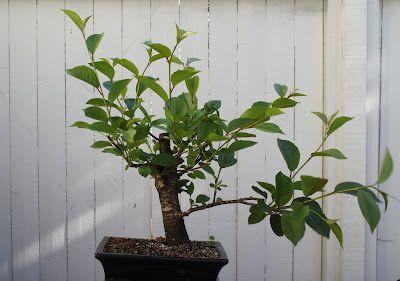 Janin bonsait: kesäkuu 2012