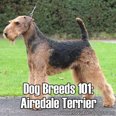 Dog Breeds 101 Airedale Terrier With Images Dog Breeds Airedale Terrier Dogs
