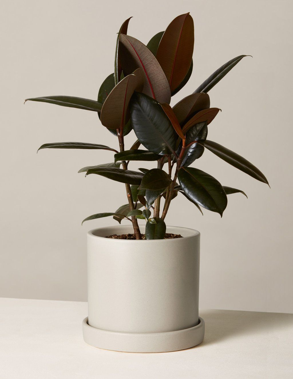 Rubber Tree Plant Rubber Tree Plant Trees To Plant Rubber Tree