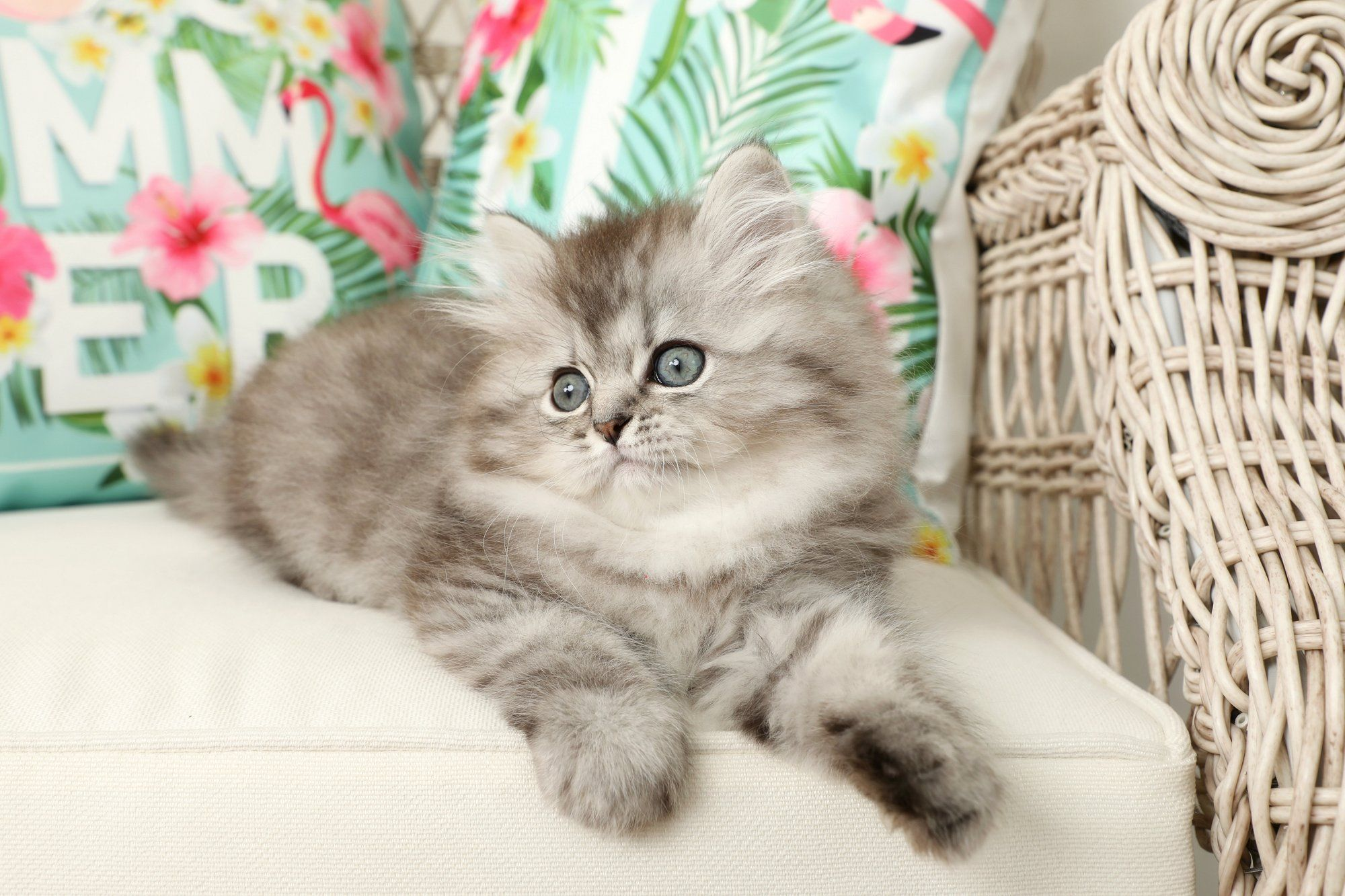 Silver Persian Kittens For Sale Cute cats, dogs, Persian