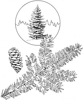 White Spruce Tree Coloring Page Super Coloring Tree Coloring Page Coloring Pages Spruce Tree