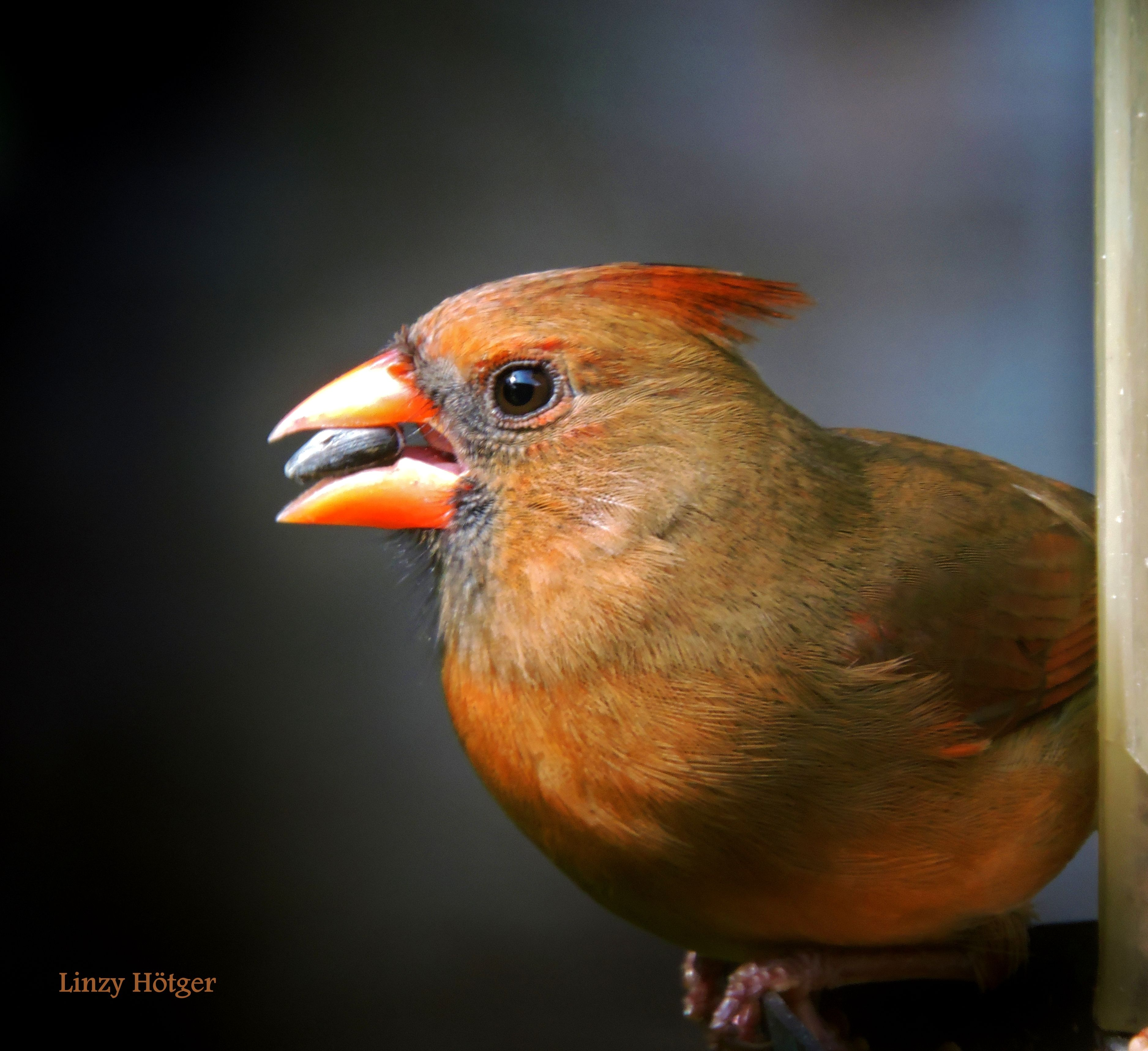 A female Red Cardinal with a sunflower seed.  Photo by Linzy Hötger