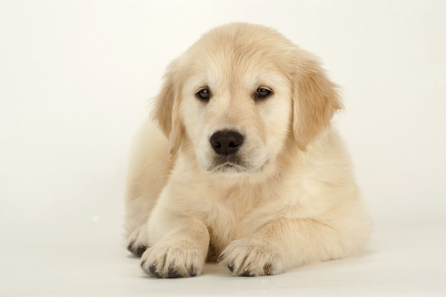Simple Steps To Train A Puppy To Lie Down Dog Training Training