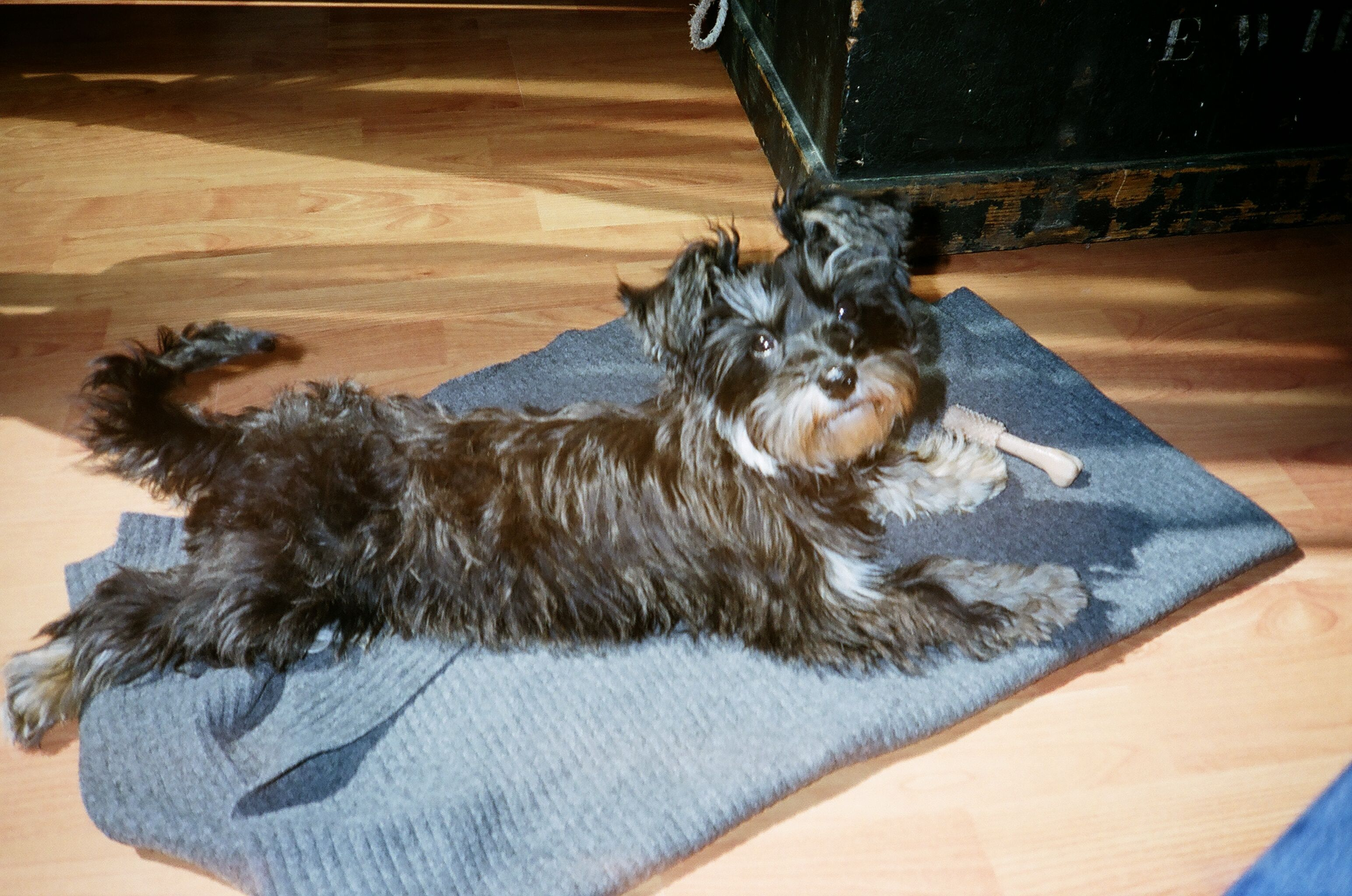 Maggie My Havanese At 2 Years Old Havanese Chinese Crested Furry
