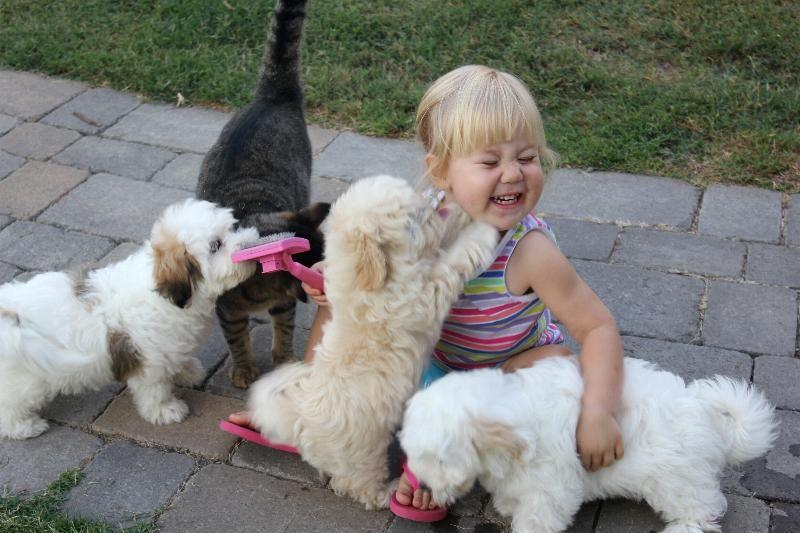 Coton De Tulear Puppies Available By Cornerstone Coton De Tulear