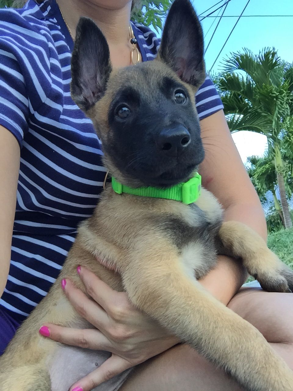 2 Month Old Belgian Malinois Belgian Malinois Dog Belgian Malinois Puppies Malinois Puppies