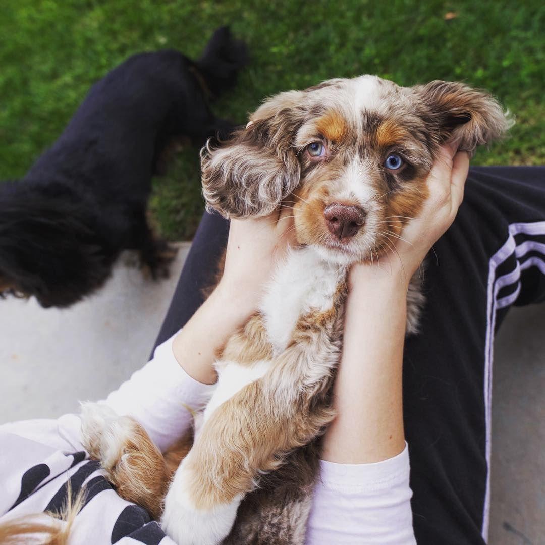 Cotralian Named Luke Hybrid Dogs Shepherd Mix Dog New Puppy