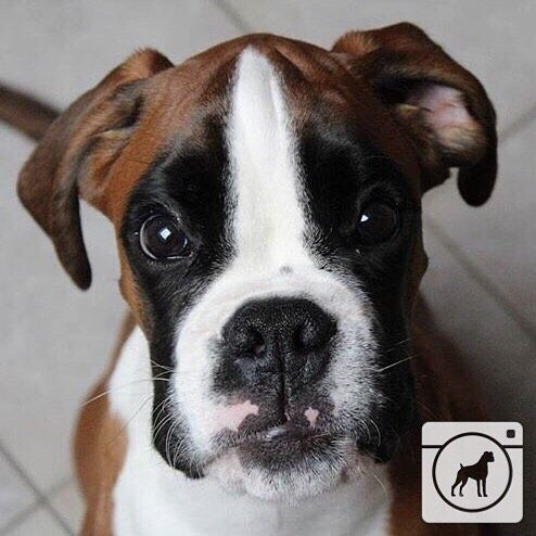 @fox_spike_boxer   Hashtag #boxergram for a chance to get your very own boxer featured!  #boxer #boxers #boxerpuppy #boxerpuppies #boxerdog #cute #cutedog #boxersofinstagram #boxerdogs #dog #dogs #puppy #puppylove #puppies #pet #pets #cute #animals #weeklyfluff #boxeraddict #boxerlove by boxergram
