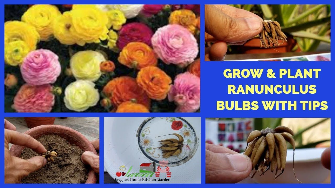 How To Grow And Plant Ranunculus Bulbs Corms Persian Buttercup Flowers Persian Buttercup Ranunculus Buttercup Flower