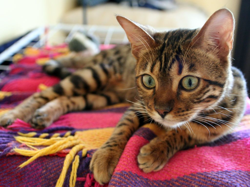 Bengal cat Top 15 most cutest cat breeds Kawaii x3