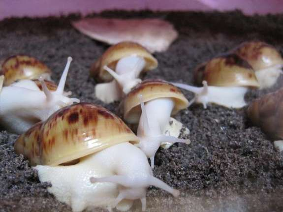 i dont know why i like these so much. albino snails.. fabulous! <3