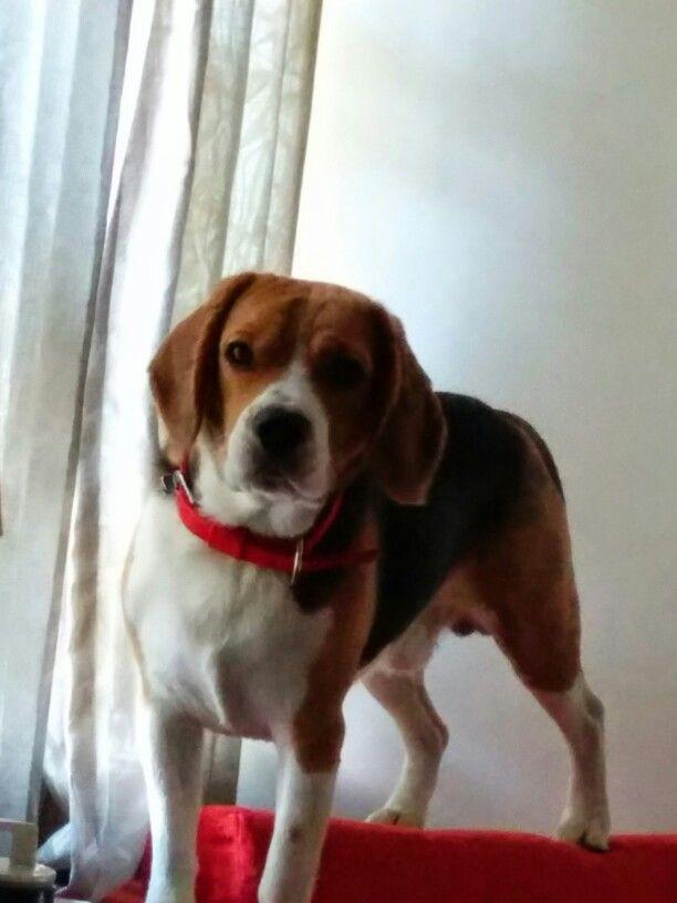 Beagles Beagle Beagle Rescue Animals