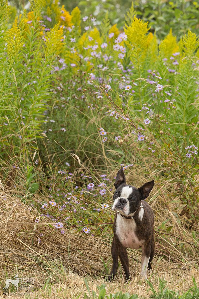 Boston terrier Boston terrier, Dog face, Expensive dogs