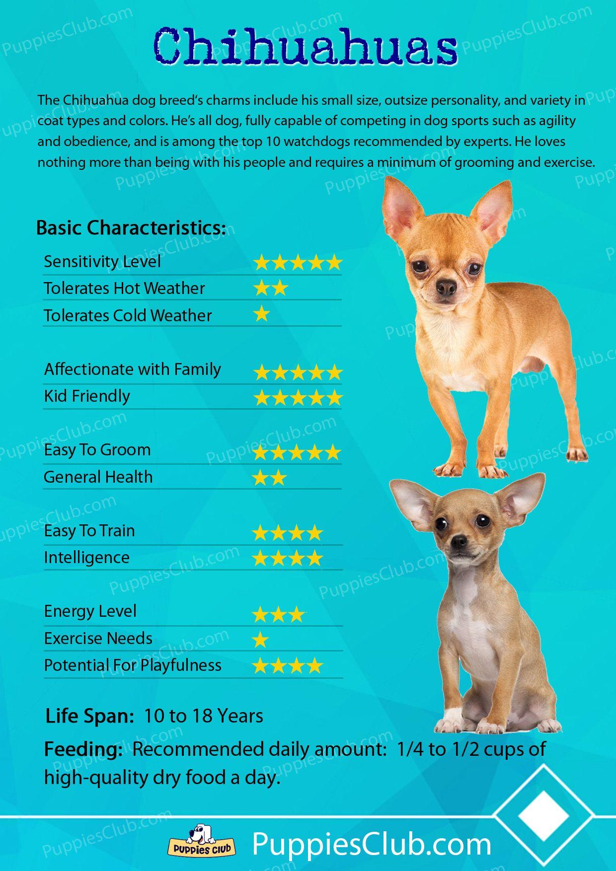 Chihuahuas Sporting Dogs Chihuahua