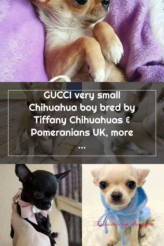 Teacup Chihuahua 上的釘圖