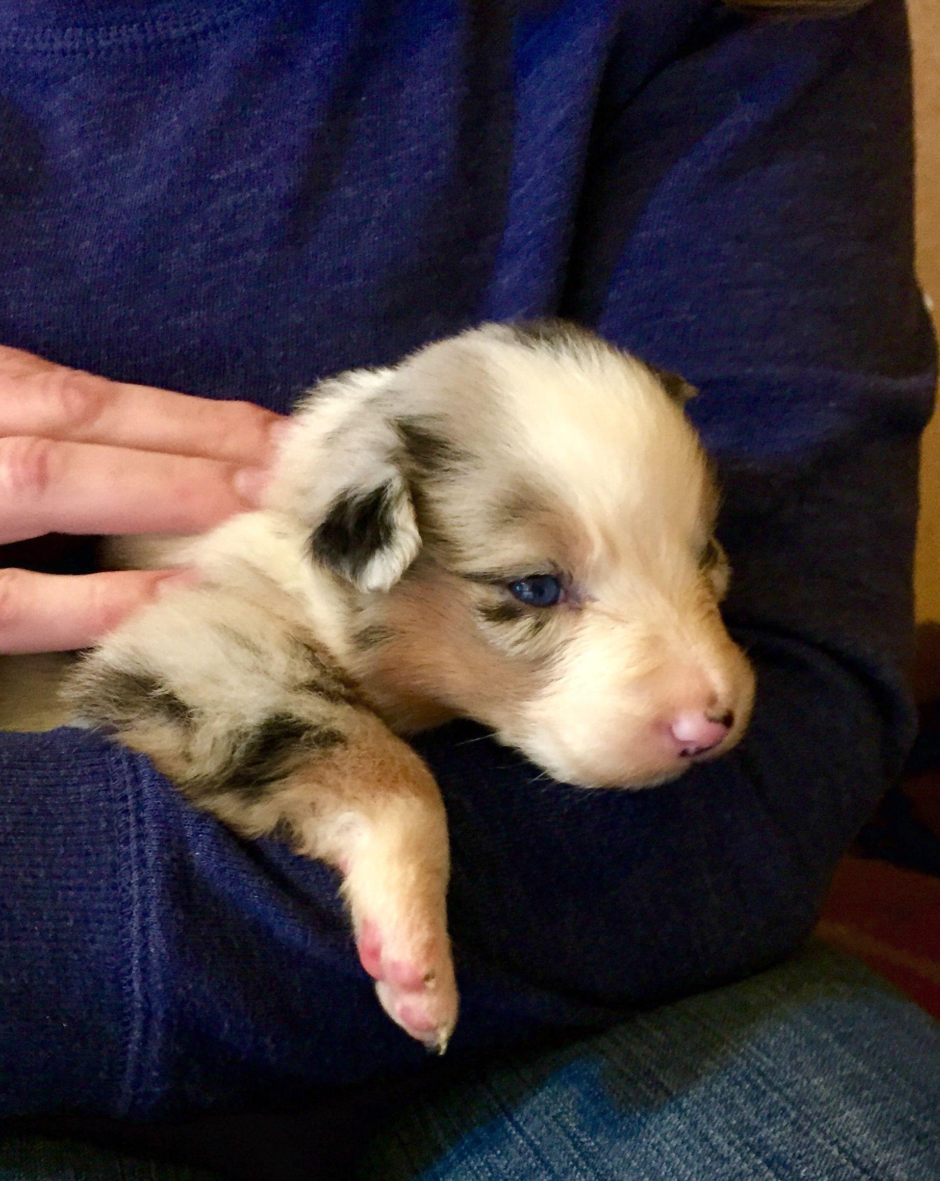Australian Shepherd Blue Merle Puppy 3 Weeks Old Piper
