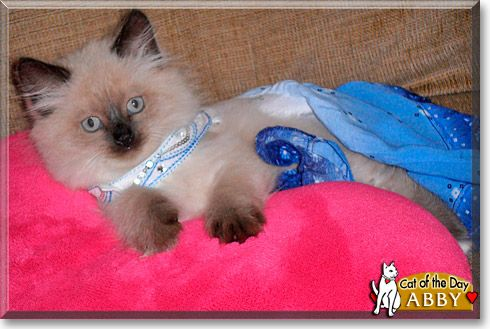 Read Abby the Siamese, Himalayan kitten's story from Farmington, New York and see her photos at Cat of the Day http://CatoftheDay.com/archive/2011/August/04.html .