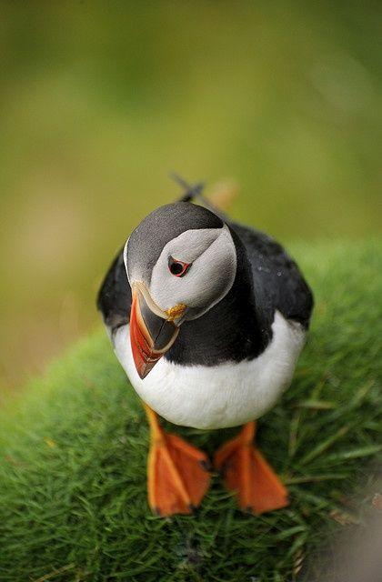 Macareux Oiseau Vivant Sur La Cote Nord Du Royaume Uni Son Nez Est De La Meme Couleur Orangee Que Ses Pattes Mais C Es Birds Beautiful Birds Cute Baby Animals