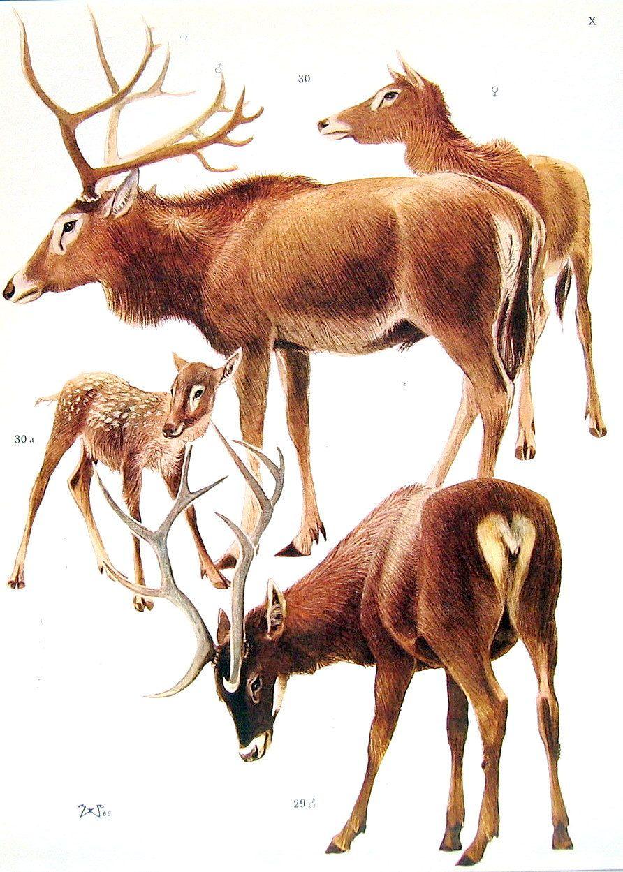 True Deer - Red Deer, Isubra Maral, East Wapiti, Thorold\'s Deer ...