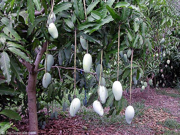 Mango The Different Varieties Love Them All Imagine The