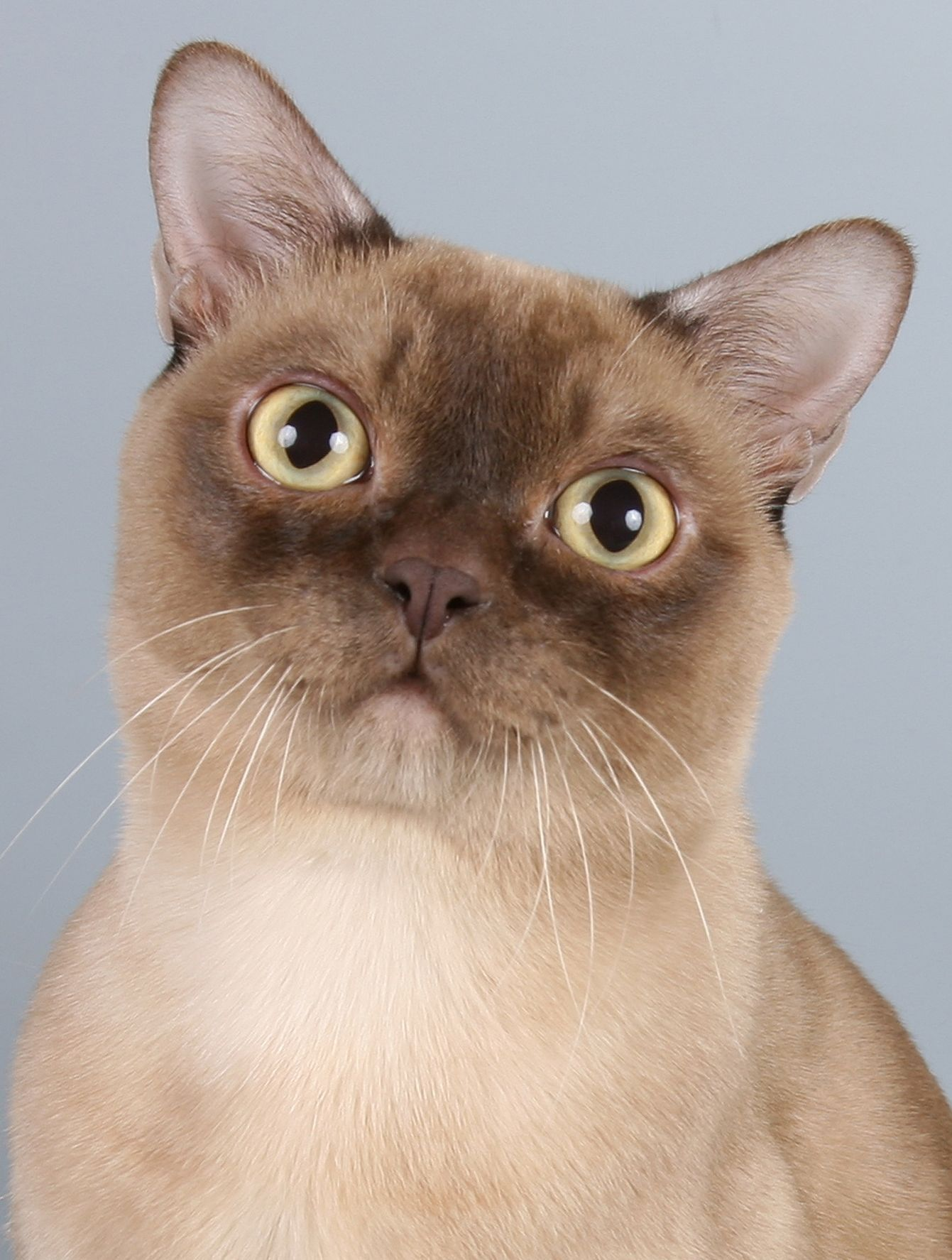American Burmese Burmese Cat Cat Breeds Burmilla Cat