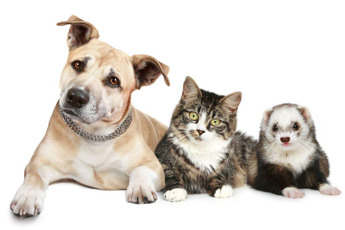 Finde Heraus Ob Ein Frettchen Das Richtige Haustier Fur Dich Ware In 2020 Frettchen Frettchen Als Haustier Staffordshire Terrier