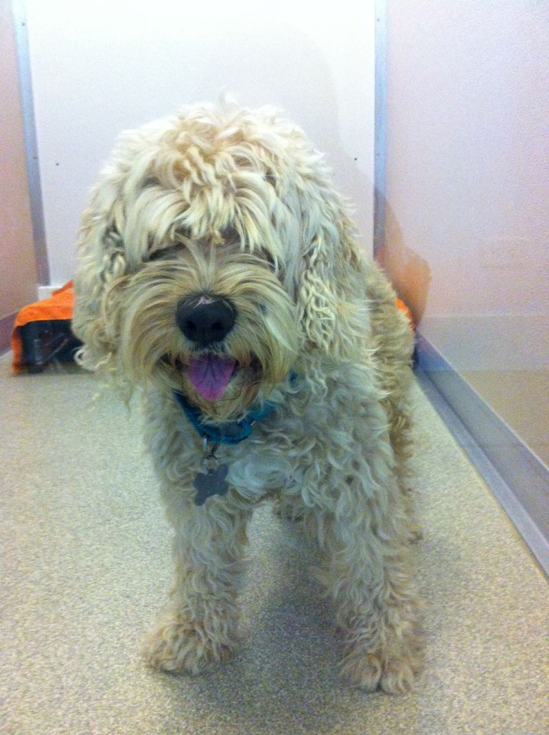 Adopt yammy on poodle mix dogs golden retriever poodle