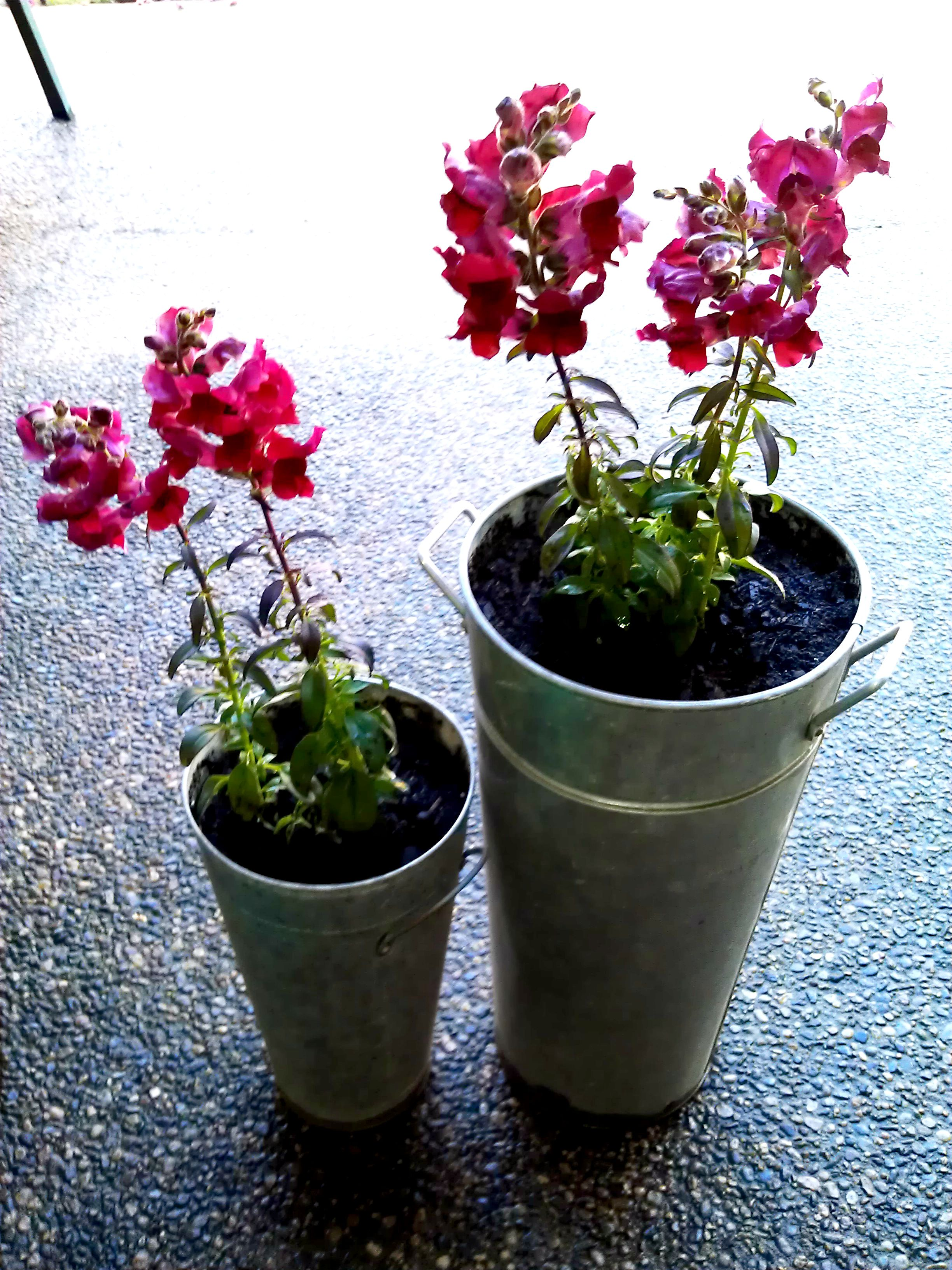 Snapdragon Annual flowers, Planter pots, Home and garden