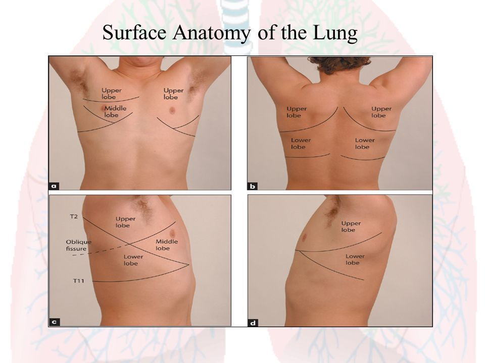 Surface+Anatomy+of+the+Lung.jpg (960×720) | Medicine Compendium ...