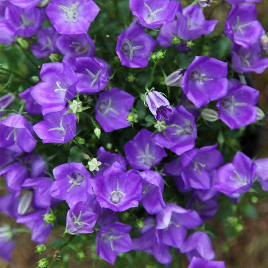 Bellflower Campanula Carpatica Blaue Clips Campanula Flowers Campanula Indoor Flowering Plants