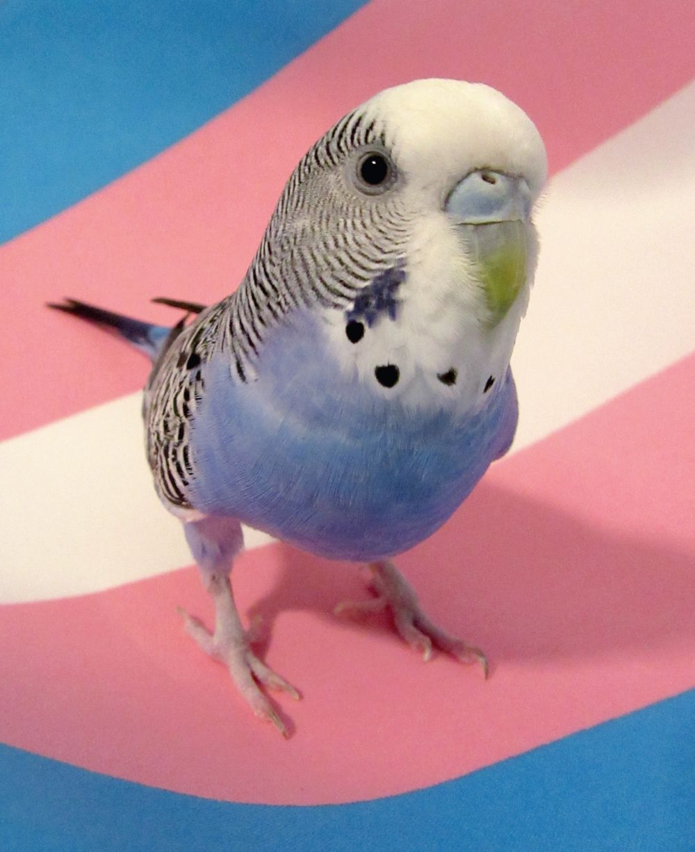 Parakeet Pet Birds Cute Birds Budgies Bird