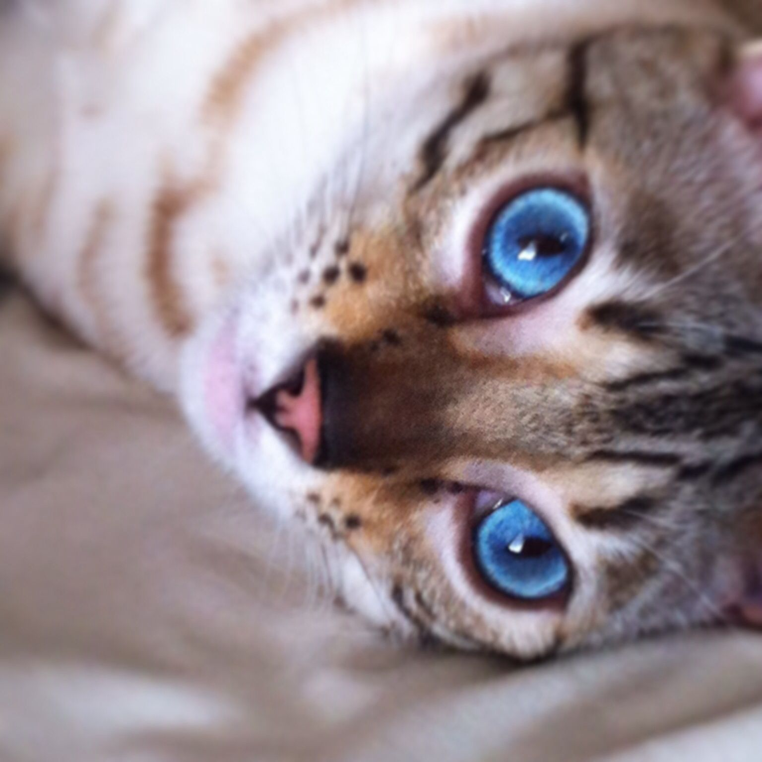Jimmy Bengal Bengalcat Blueeyes Snowbengal Bengal Cat Cute Animals Animals