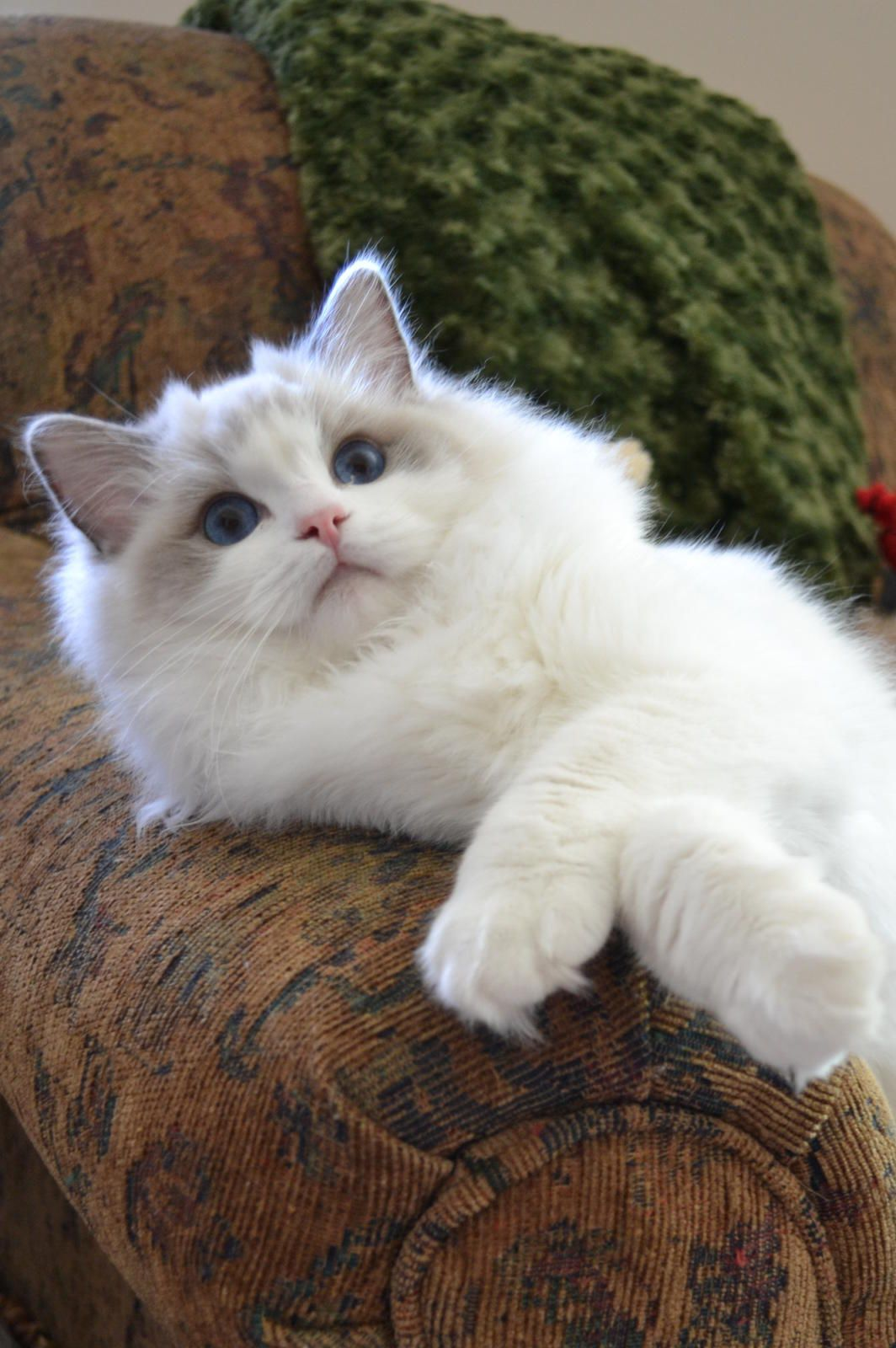 Ragdoll Are Extremely Smart Cats Ragdolls Learn How To Fetch