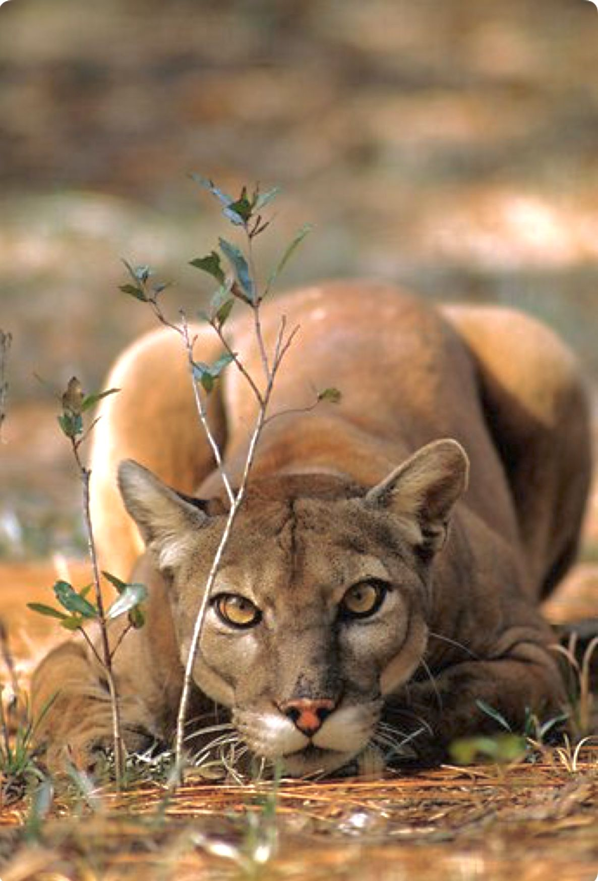 98ae3c8ae3a7 This crouching puma is practically crossed-eyed with anticipation. ♥ The  puma (Puma concolor)