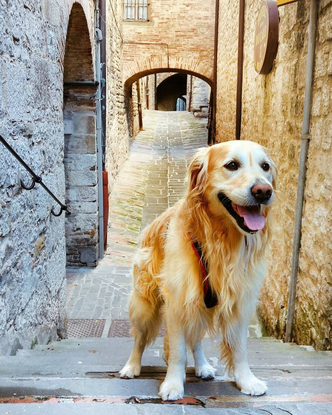 After A Long Walking Where Are We Going Come On Friends Gubbio Dog Dogs Puppy Golden Goldenretriever Forest T Golden Retriever Puppies Dogs