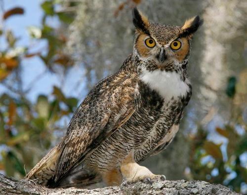 great horned owl - Google Search   Great Horned Owl   Pinterest ...