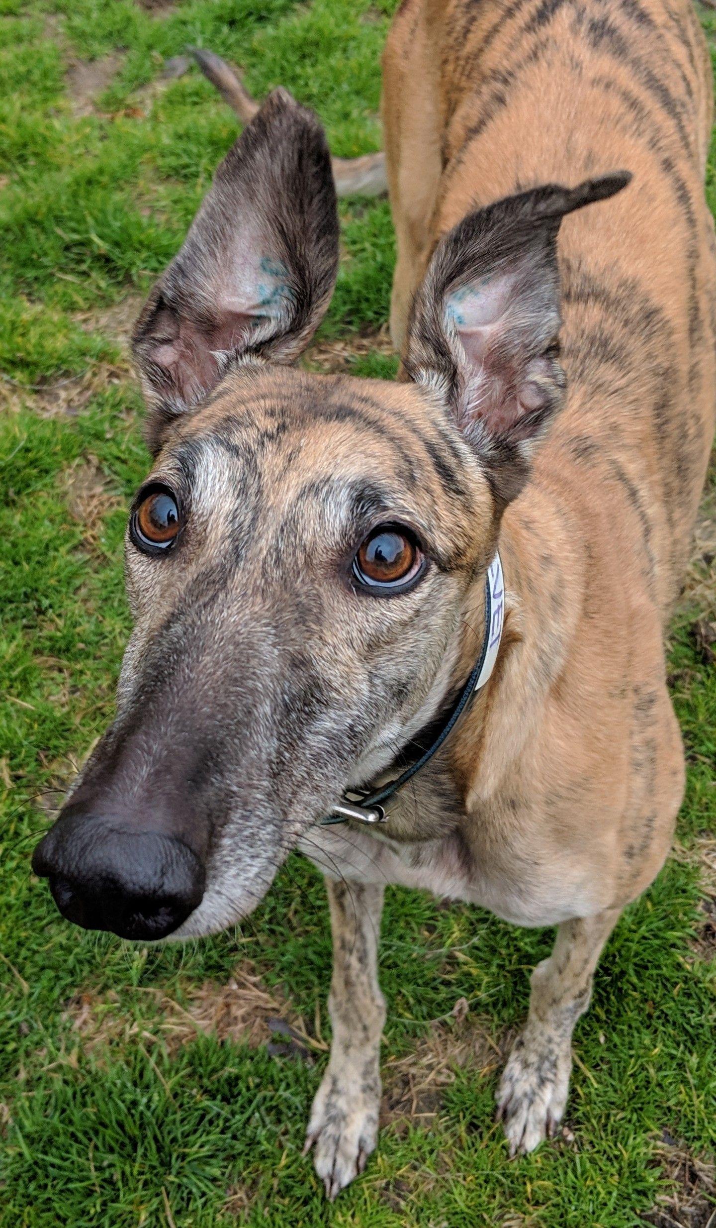Adopt velvet on grey hound dog greyhound rescue cute