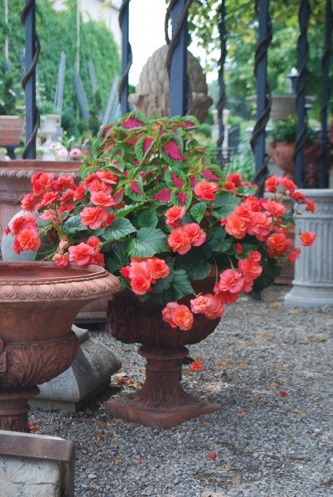 Lime And Pink Coleus Underplanted With Solenia Orange Begonias