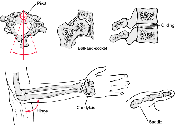condylar joint | definition of condylar joint by medical, Human Body