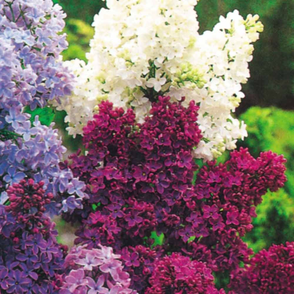 An Old Fashioned Double Flowering Lilac Which Is Now