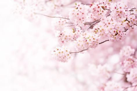 Photographic Print: Cherry Blossom in Full Bloom. Cherry Flowers in Small Clusters on a Cherry Tree Branch, Fading in T : 24x16in