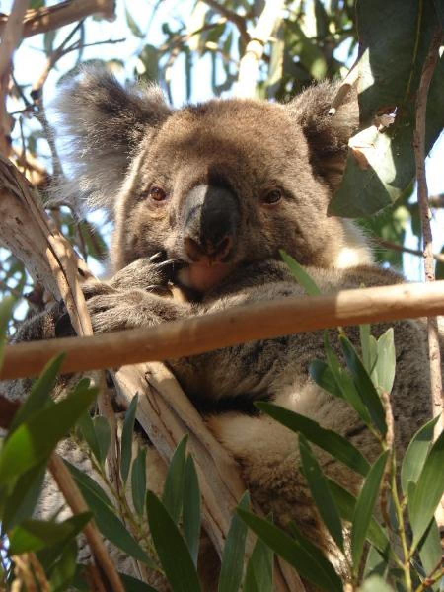 Koala on Kangaroo Island, Australia   Traveldudes.org
