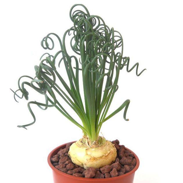 1 Bulb Stephania Erecta Caudiciform Caudex Fatplant Botanique