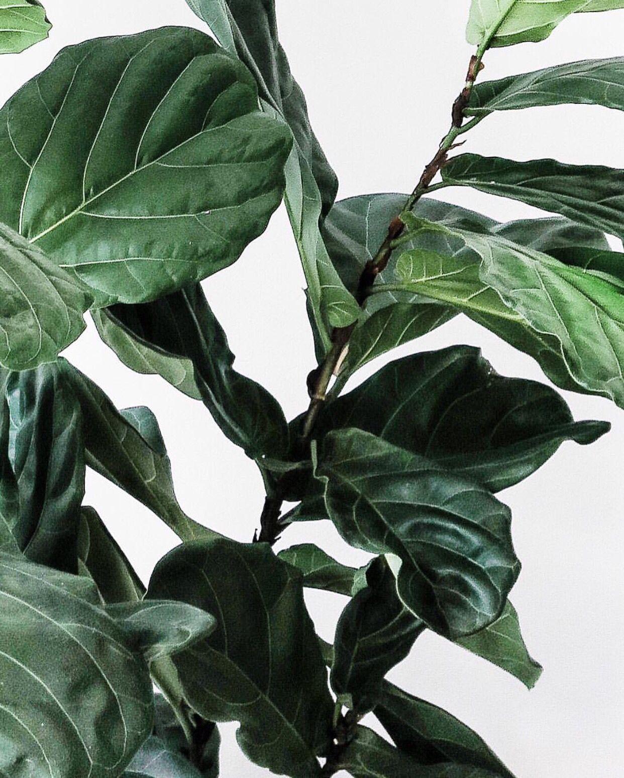 Ficus Lyrata   Fiddle leaf fig   PLANTS GOALS!   Pinterest   Jasmine ...